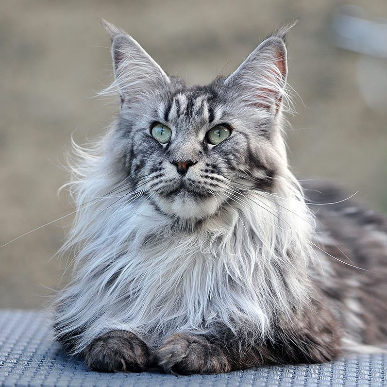 Nos Chats De Race Maine Coon