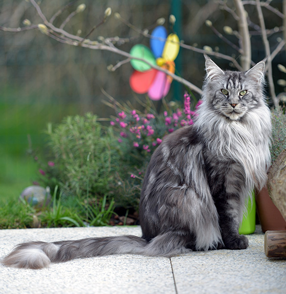 Maine Coon black-silver